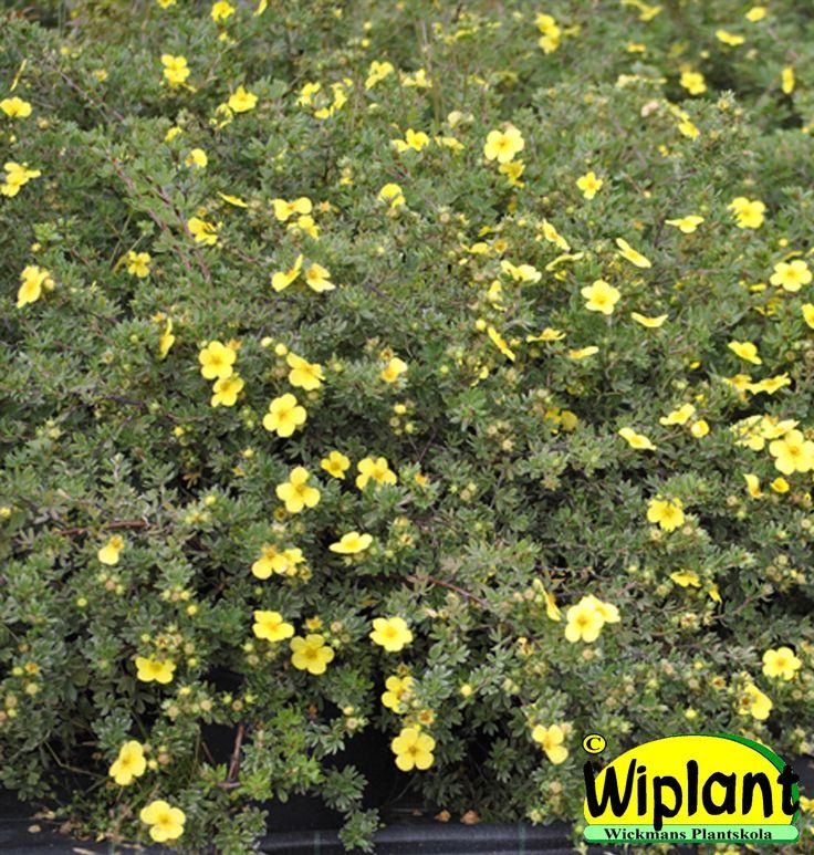 Dasiphora (Potentilla) f. 'Longacre', Ölandstok. Ljusgula blommor, låg växt. Höjd: 0,3-0,5 m.