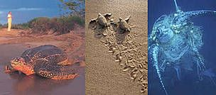 From left to right: A female leatherback turtle leaves a  beach in French Guiana after nesting; ...