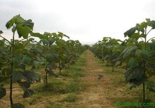 EnTexasestán utilizando un árbol que podría purificar un suelo infértil y dejarlo listo para ser utilizado en cualquier tipo de cultivo. Y no sólo eso, s