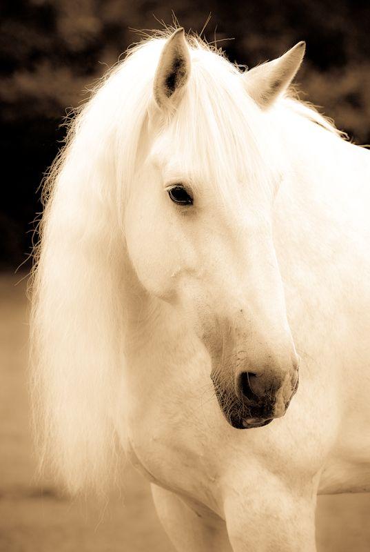 """Shire Horse - """" Anna"""" - White"""