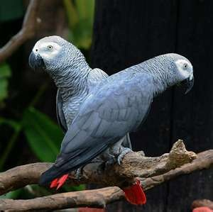 African Grey Congo Parrot.....these guys live a LONG time~