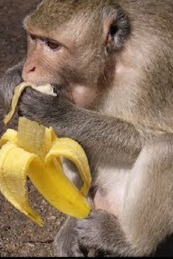 Capuchin Monkey Mushy Banana With Images Cute Animals Pets
