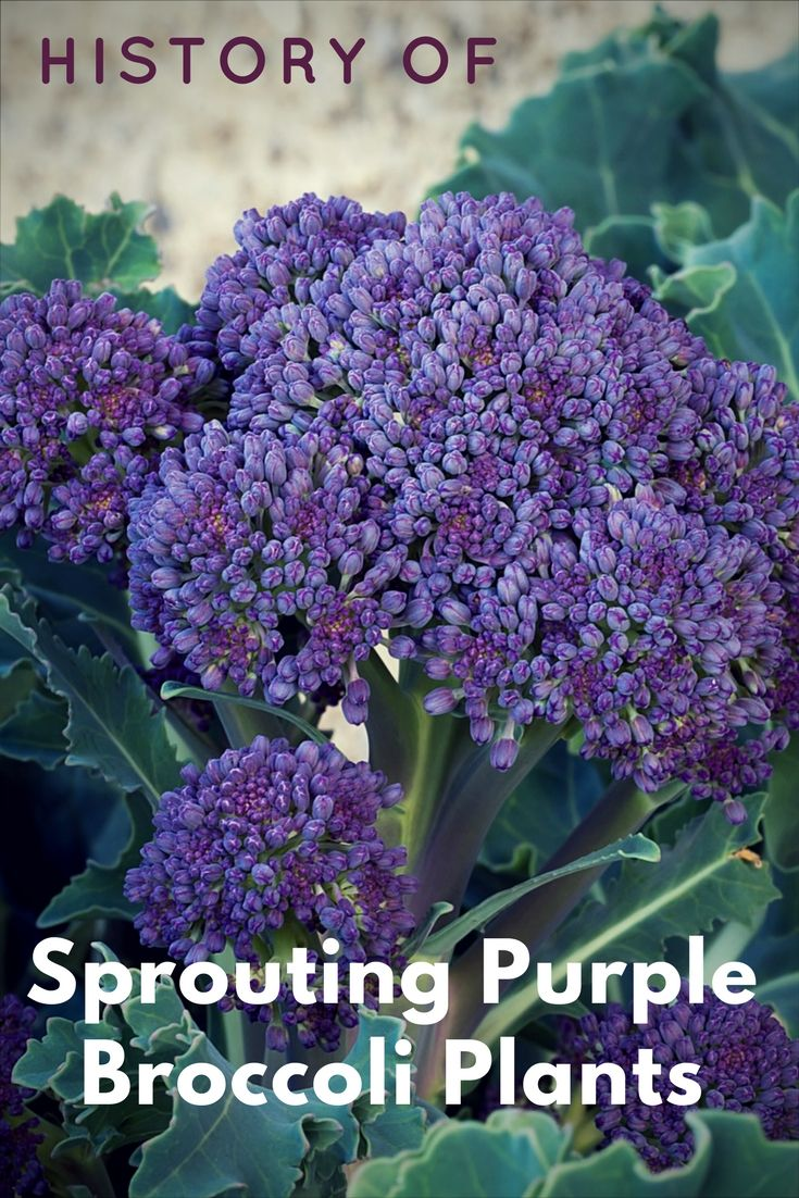 History Of Sprouting Purple Broccoli Plants Gardening Know How S Blog Broccoli Plant Vegetable Garden Planning Purple Vegetables