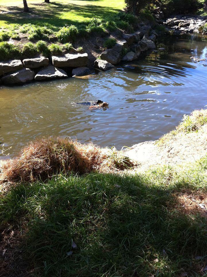 Gardeniers creek, Burwood, eastern suburbs, Melbourne Victoria, Australia.  Dogs can also swim