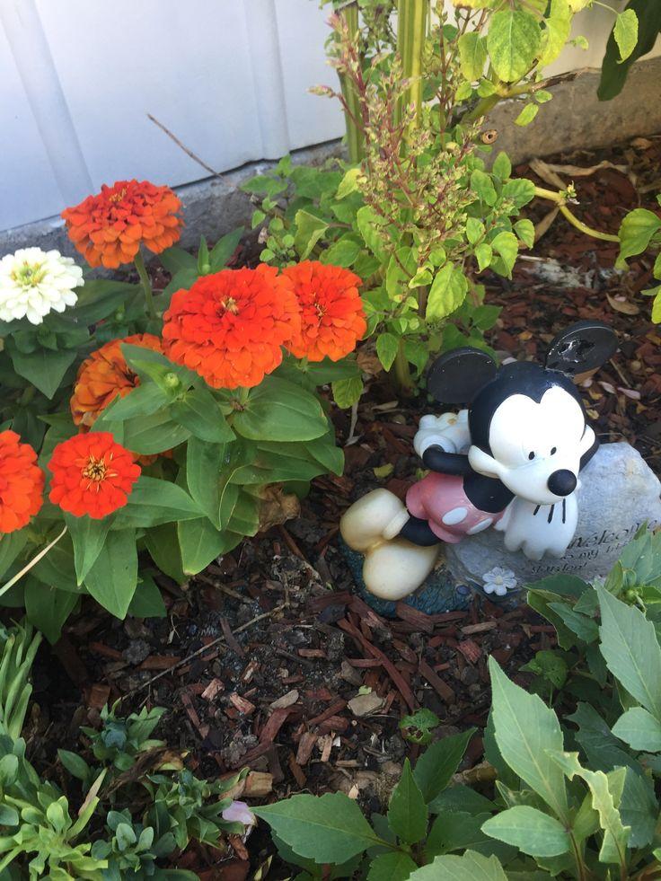Mickey is minding the zinnias.