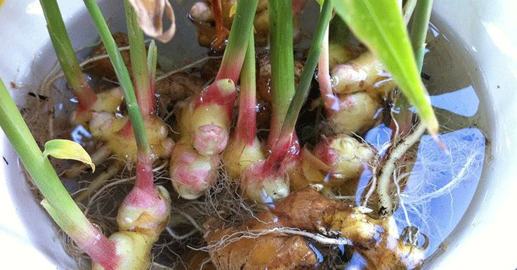 How to Grow an Endless Supply of Ginger Indoors //Healthy Holistic Living