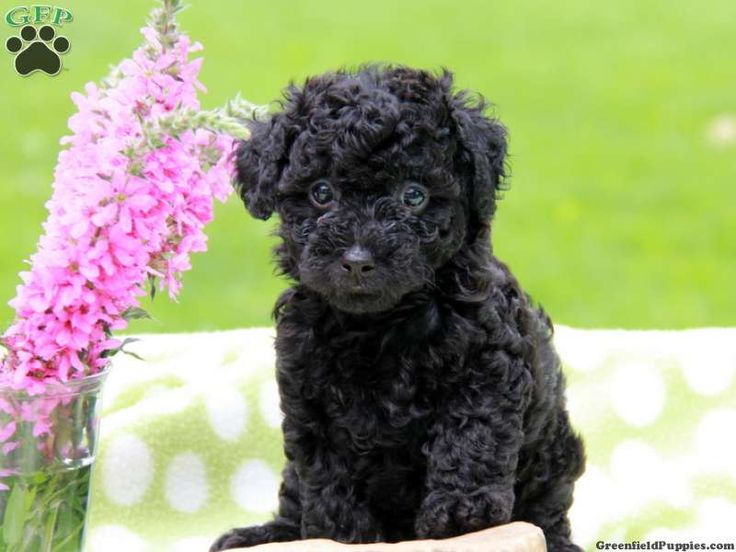 black standard poodle puppy - photo #38