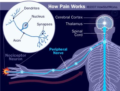 Human Body Diagram | Nerves send pain signals to the brain for processing and action.
