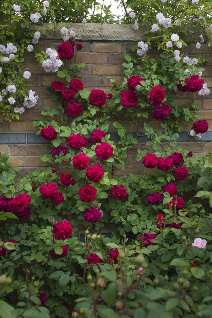 Flowers In The Wall Garden -  red roses climb to the top of the brick wall