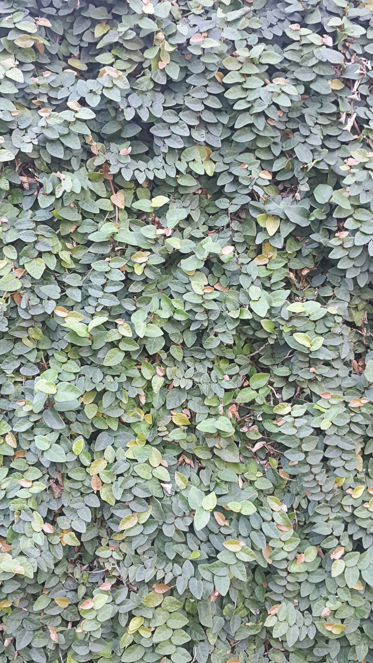 Ficus pumila (Dolar-dolaran) @my home