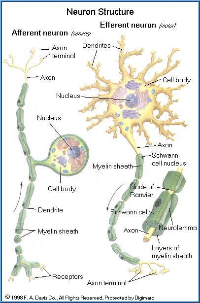 FREE Toxicology Course on Neurotoxicity, Anatomy and Physiology of the Nervous System, Cells of the Nervous System