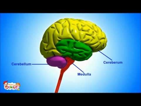 ▶ Brain Parts & Functions video for Kids from www.makemegenius.com - YouTube