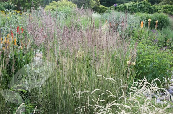 calamagrostis overdam