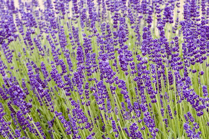 How Hardy Are Lavender Plants: Best Lavender Plants For Zone 5 Gardens