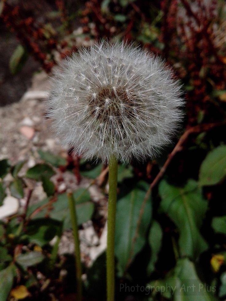 Dandelion Paipa flowers
