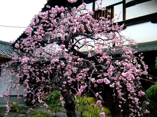 2006京都の梅と早咲き桜情報3月その2