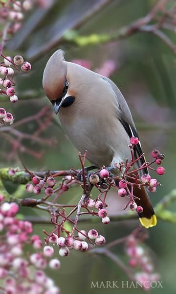 Waxwing : Mark Hancox. Flocks of thousands of these along the Scottish west coast and the Isle of Skye while I was working there last autumn.