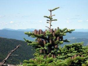 Balsam Fir Planting – Learn About Balsam Fir Tree Care