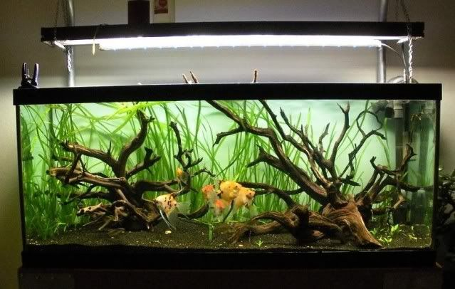 Manzanita in fish tank one fish two fish pinterest for Fish tank driftwood