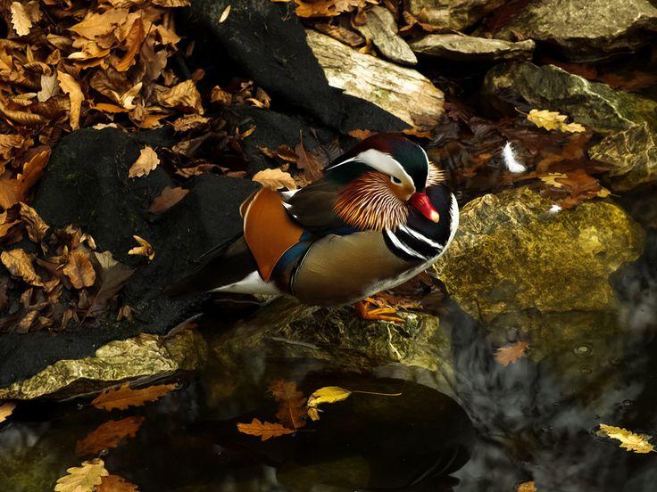 Mandarin duck by Marcsi Bruscha on 500px