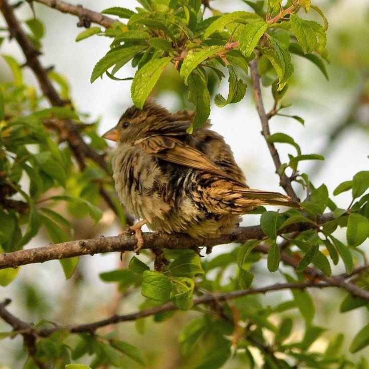 #gorrion #sparrow #pardal #littlebirds #pajarospequeños #birdphoto #birdphotography #fotosdepajaros #natureshots #naturelovers #naturelife #freelife #freelifestyle #buenasvibraciones #goodvibes #gypsysoul #nikon