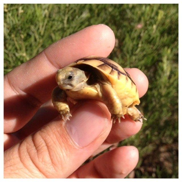 Baby Jordanian Greek Tortoises For Sale
