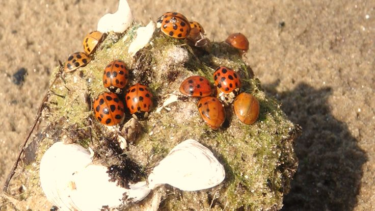 Ladybugs, soaking up the sun in Port Colborne.