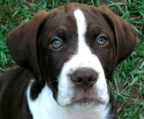 White Boxer Lab Mix Photo - Happy Dog Heaven