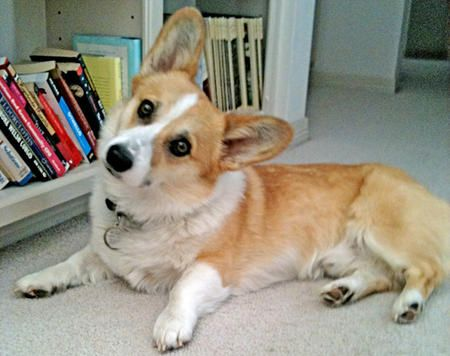 TobyLes Animal, Standards Poodles, Best Friends, Beds, Dogs Breeds, Welsh Corgis, Fluffy Pillows, Tennis Ball, Adorable Animal