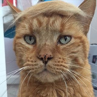 Post the photo to Instagram, tag @trumpyourcat and your Donald Purrump might be featured on their profile! | A Casual Reminder That There's An Instagram Account Of Cats With Trump Toupees