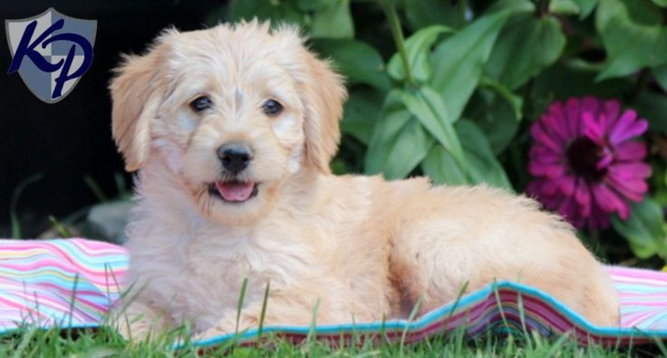 38 best images about Mini Labradoodle Puppies on Pinterest ...