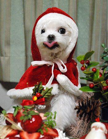 今年最後のずんずんカレンダーは…サンタクローずん♪の画像   マルチーズ ブログ あまずのズンズン日記