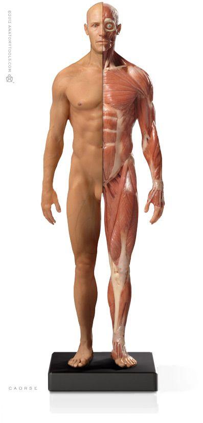 Male 1:6 Flesh/Anatomy fig v.3