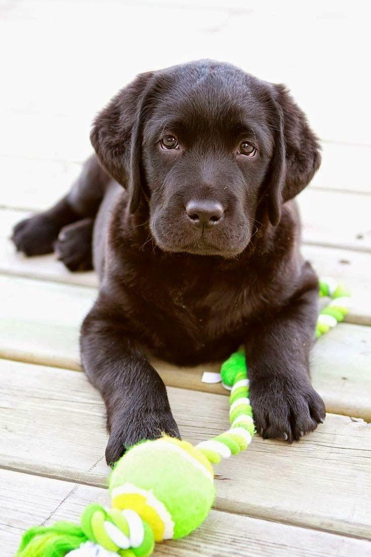 best labrador retriever images on pinterest