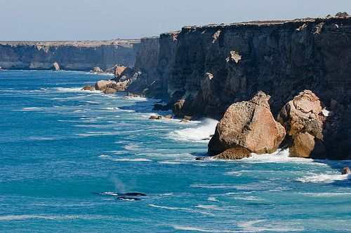 Whales at Bunda Cliffs by john white photos, via Flickr • Southern right whale Nullarbor and cliffs • aussie big things Australia tour