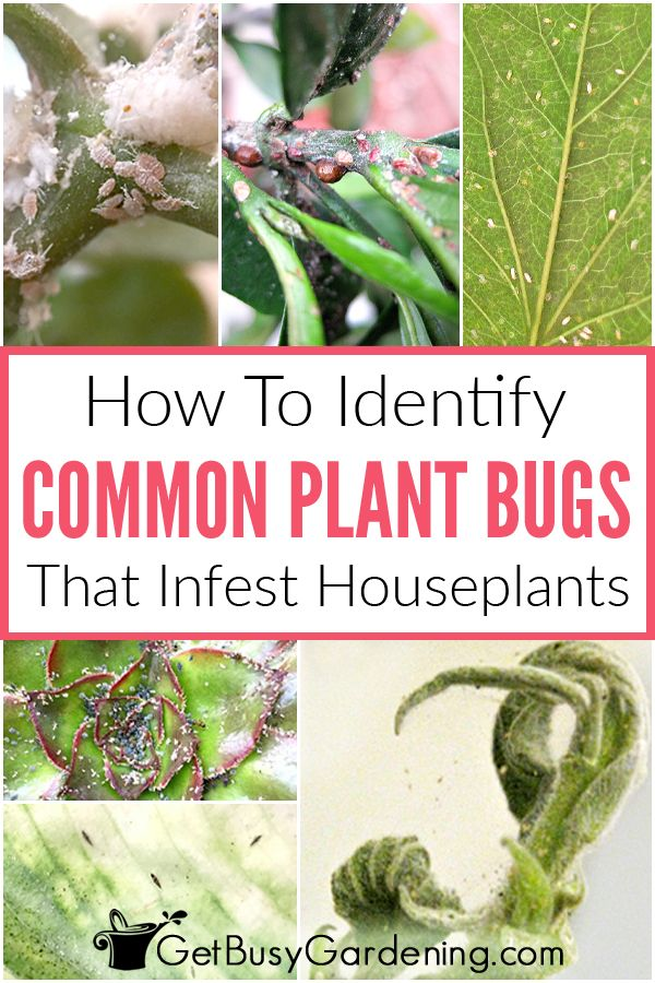 How To Identify Common Types Of Houseplant Bugs Plant Pests Plants Plant Bugs