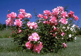 Simon Fraser rose (Explorer) ~ very hard (no winter protection needed in zone 5)~ blooms longer than any other hardy rose!
