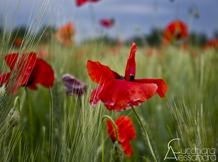 poppies camp - Italy