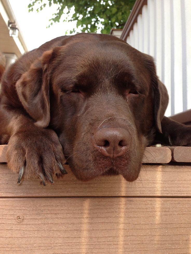 Lustige Bilder Labrador Retriever