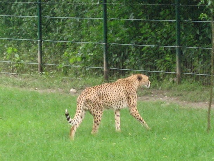 Um jaguar se move muito suave.