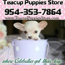 chihuahuas teacup puppies store visit teacup puppies store at www.TeacupPuppiesStore.com and see beaustiful and super tiny teacup and toy chihuahua puppies for sale from teacuppuppiesstore #teacup puppies store#teacup#puppies#store#chihuahua#puppy for sale#teacuppuppiesstore#www.TeacupPuppiesStore.com