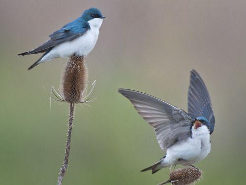 *~ Tree Swallow (Tachycineta bicolor) ~*