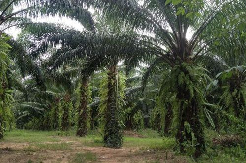 """Perkebunan kelapa sawit di Provinsi Kalimantan Timur (Kaltim) dari tahun ke tahun terus tumbuh positif, mulai 116,8 ribu hektare (ha) pada 2000 menjadi 1,1 juta ha pada 2013, dan pada 2018 ditargetkan naik menjadi 2 juta ha. """"Percepatan pertumbuhan perkebunan kelapa sawit memiliki prospek bagus untuk menggantikan sektor pertambangan, karena kian tahun tambang tidak bisa diharapkan akibat cadangannya"""