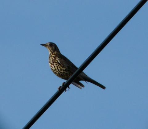 Mistle Thrush: the storm cock | Nature Notes from Dorset