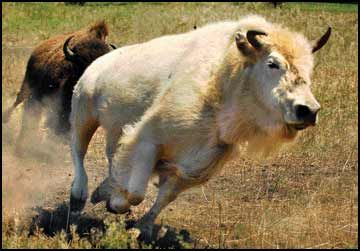 Snowdrop, who either is or is not a white buffalo, charges across a western Montana ranch. (MICHAEL GALLACHER/Missoulian)