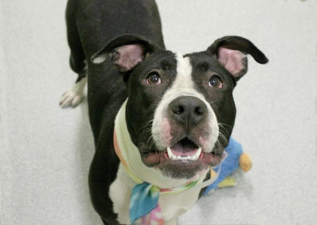 Manhattan Center SUZIE – A1094874  **SAFER : AVERAGE HOME**  FEMALE, BLACK / WHITE, AM PIT BULL TER / AMERICAN STAFF, 2 yrs STRAY – EVALUATE, NO HOLD Reason STRAY Intake condition EXAM REQ Intake Date 10/26/2016, From NY 10451, DueOut Date 10/29/2016,
