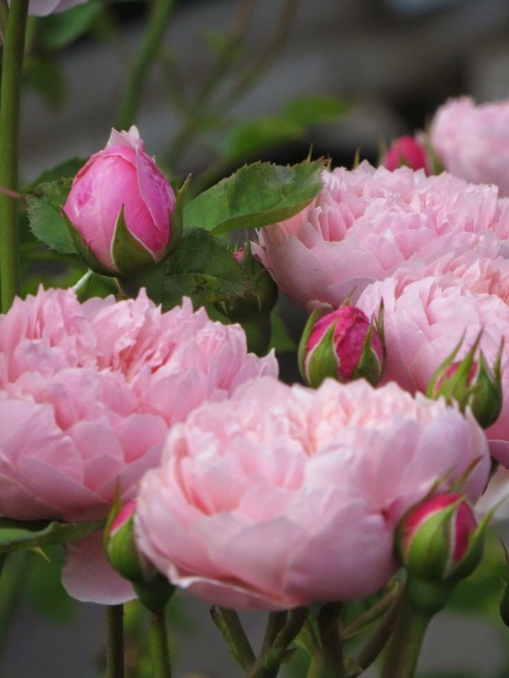 Love Garden Roses: 17 Best Images About I LOVE PINK. On Pinterest