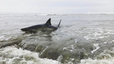 A great white shark was trapped in shallow reef along the surf line at Pleasure Point in Santa Cruz, Calif. Friday evening