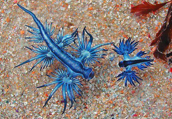 O 'Glaucus atlanticus' é uma espécie de lesma do mar azul, um molusco marinho da família Glaucidae. O tamanho fica entre 5 e 8 cm de comprimento. Tem um corpo afilado, que é achatado e tem seis apêndices que se ramificam em raios. Esse azul é na verdade a parte de baixo do bicho. Esta espécie flutua de cabeça para baixo sobre a tensão superficial do oceano graças ao saco de gás que possui no estômago. A parte de cima desta espécie é completamente cinza.