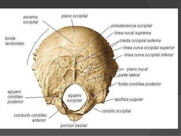 partes+hueso+occipital